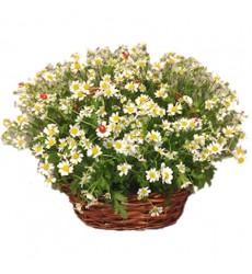 Корзина цветов с 11 ромашками «Приятное свидание»