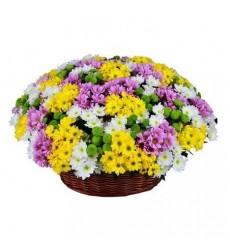 Корзина цветов со 101 кустовой хризантемой «Летний калейдоскоп»