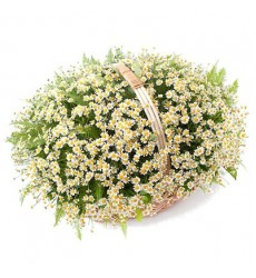 Корзина цветов с 49 ромашками «Первоцвет»