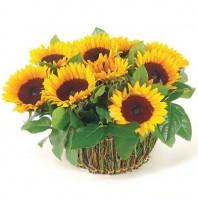 Корзина цветов с 11 подсолнухами «Летний аккорд»