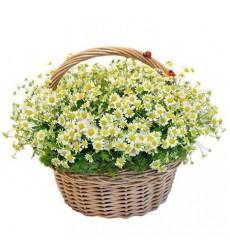 Корзина цветов с 25 ромашками «Девичье гадание»
